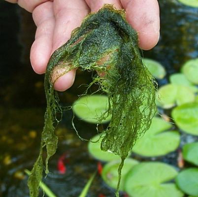 algae (2)